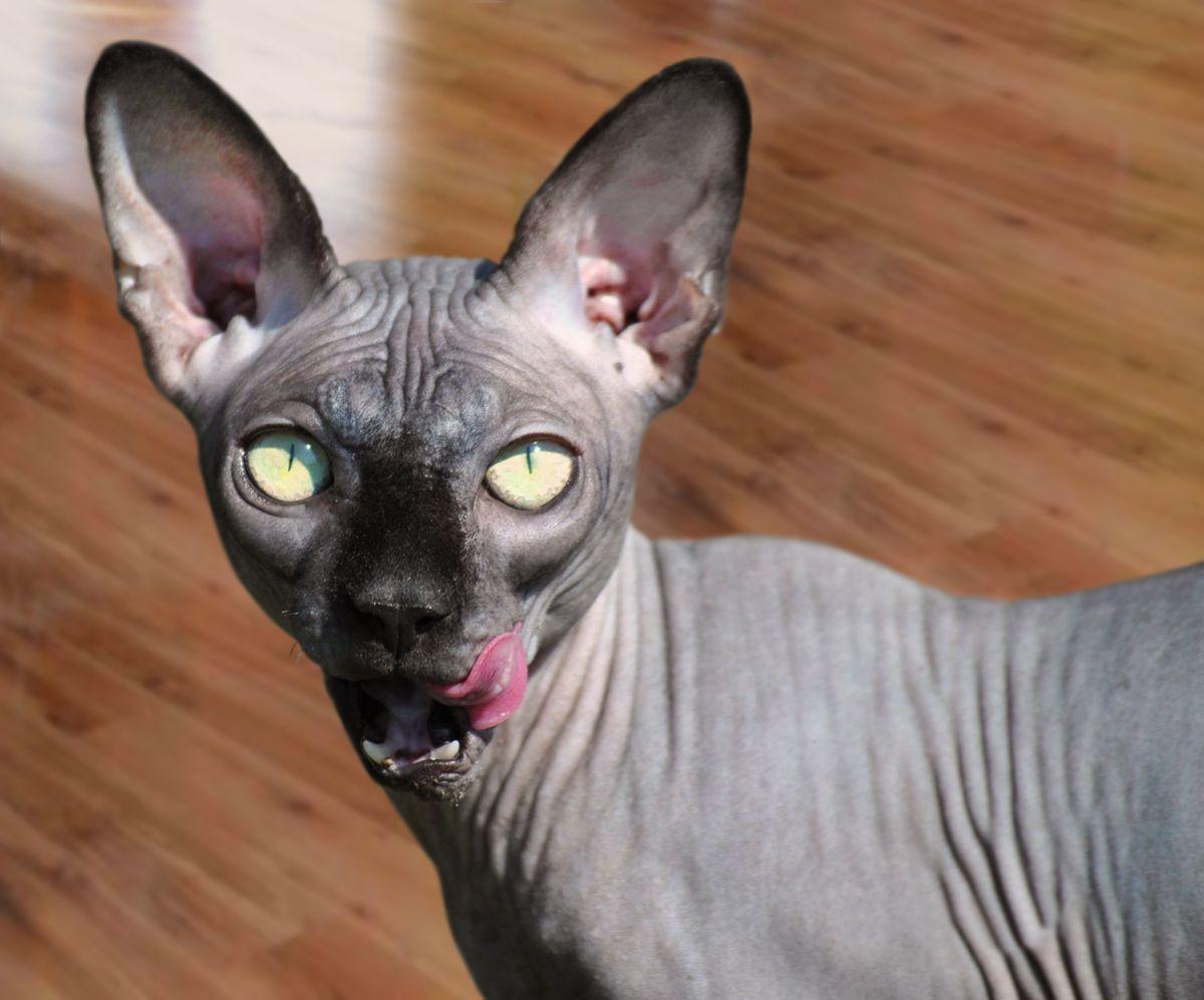 Kot Grino w hotelu dla kotów Kotel